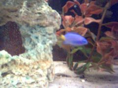 yellow tail blue damsel