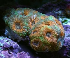 Orange and Green Acan
