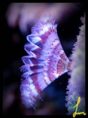 Mini_feather_star