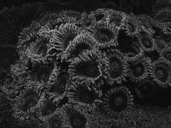 B&W Zoa's with a twist