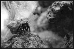 black and white hermit crab pic
