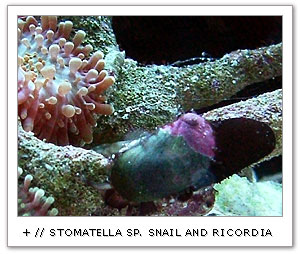 Black Stomatella species snail