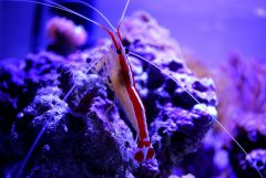 Cleaner shrimp hanging onto the acro