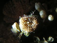 glass aneomone shrimp on ric