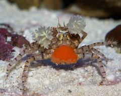 Pom Pom Crab with eggs