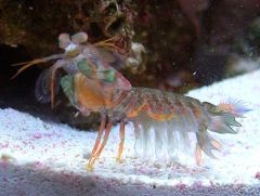 Banstyle The Mantis Shrimp