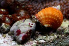 Orange Chestnut Snail