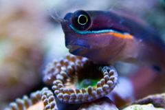 Big eyed blenny relaxing by zoa eyes