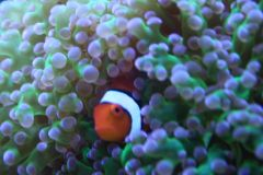 Clownfish Hiding In Frogspawn