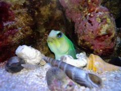 Jawfish pic from phone.