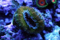 Fool's Gold Acan