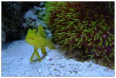 Yellow watchman goby is surprised