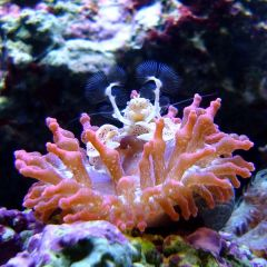 Porcelain Crab in Rose Bubbletip Anemone