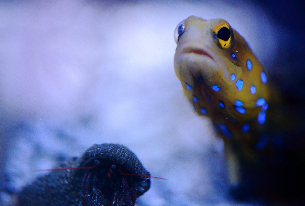 Bluespot jawfish and Hermit