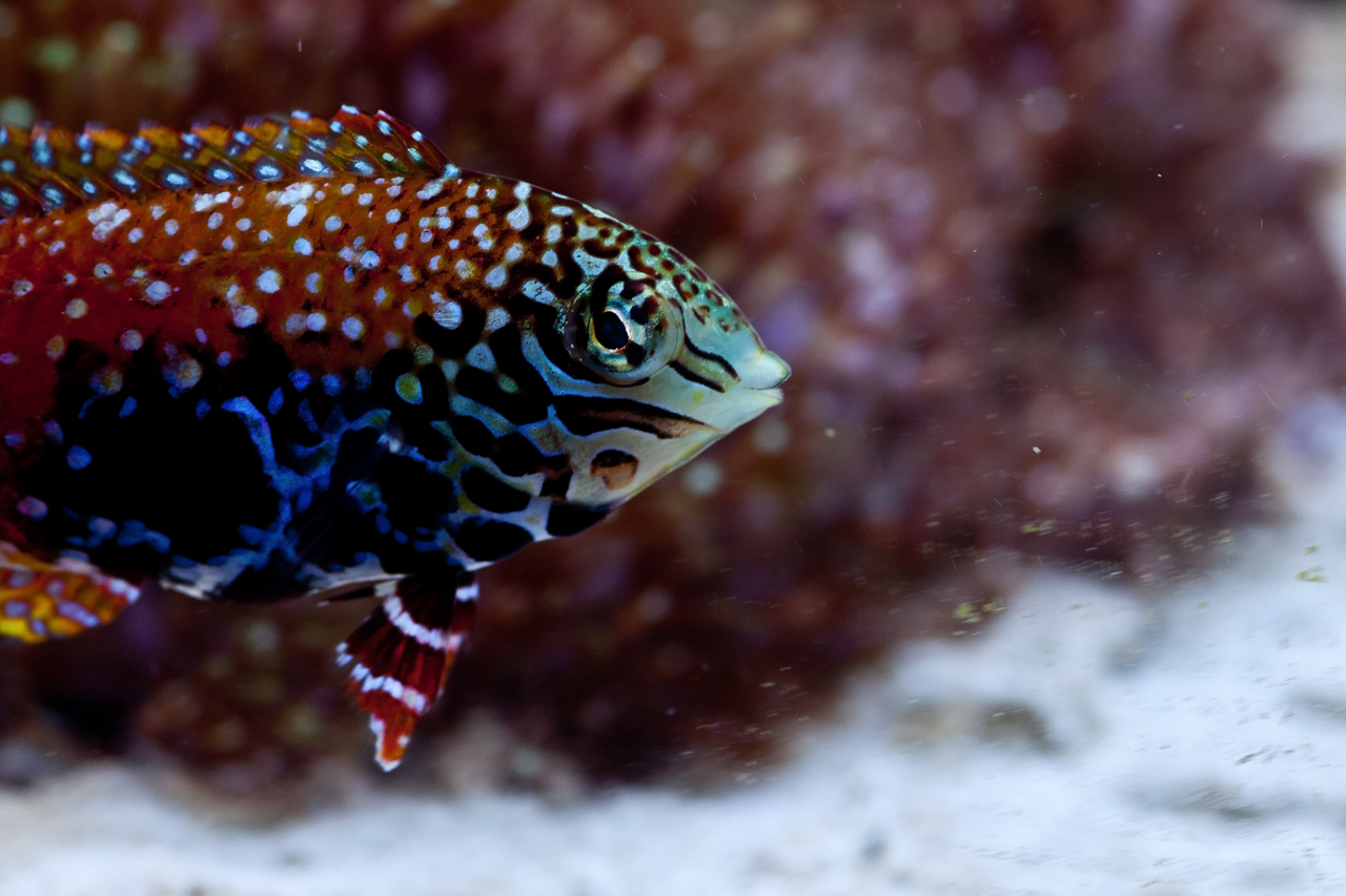 Sexy Wrasse