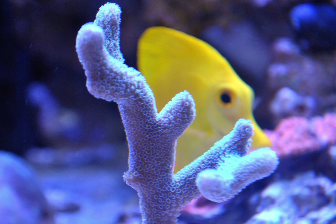 Spooky The Yellow Tang