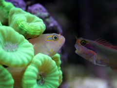 Tailspot Blenny Having Words with Arc-Eyed Hawkfish
