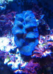 Blue Crocea