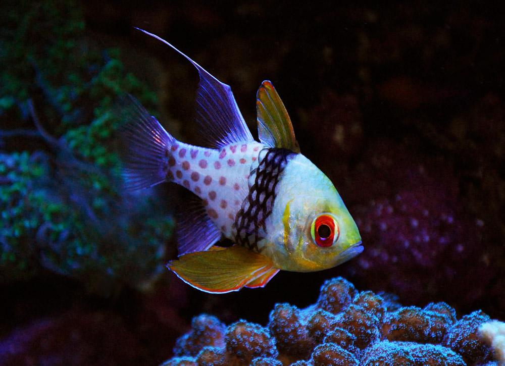 Pajama cardinal cardinalfish nano community for Community saltwater fish