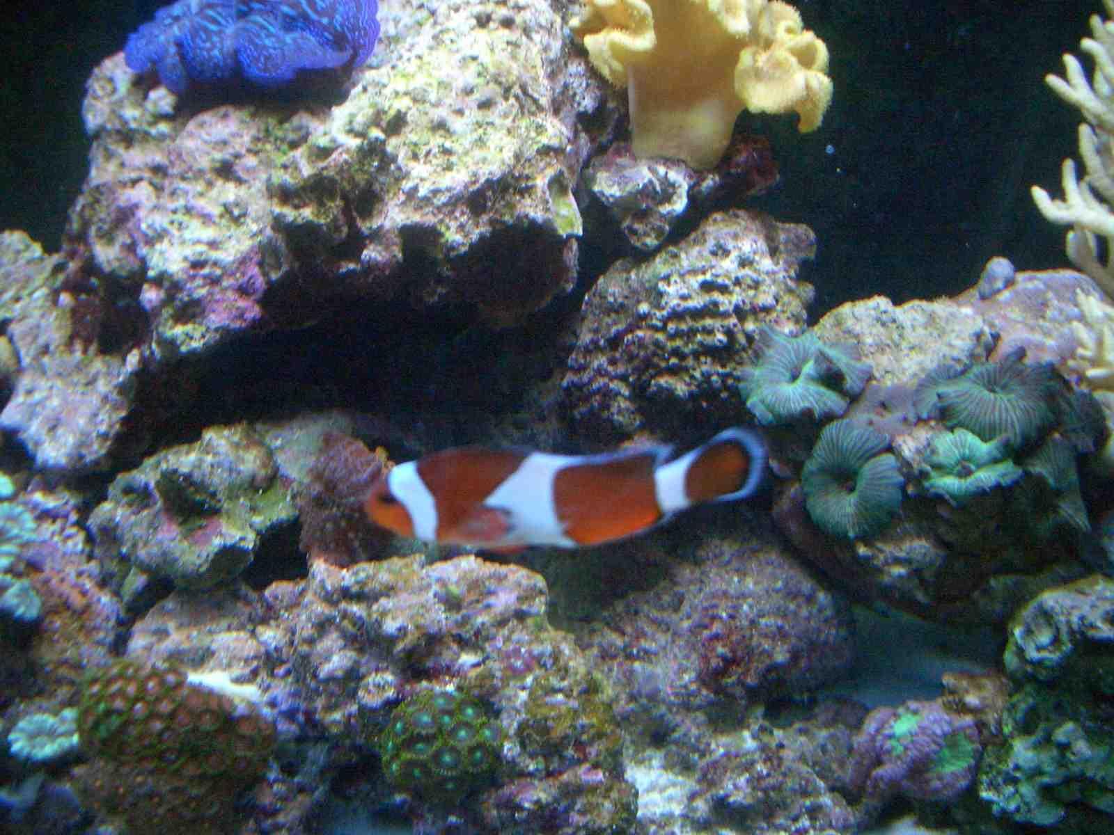 Does my clown have clown fish disease aka Brooklynella Hostilis