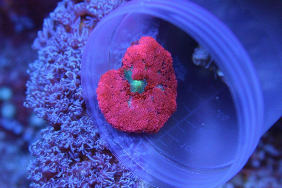 carpet anemone. post-71536-1342749537_thumb.jpg carpet anemone