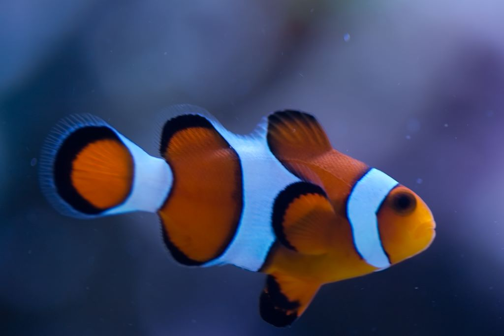 Ocellaris clownfish pair
