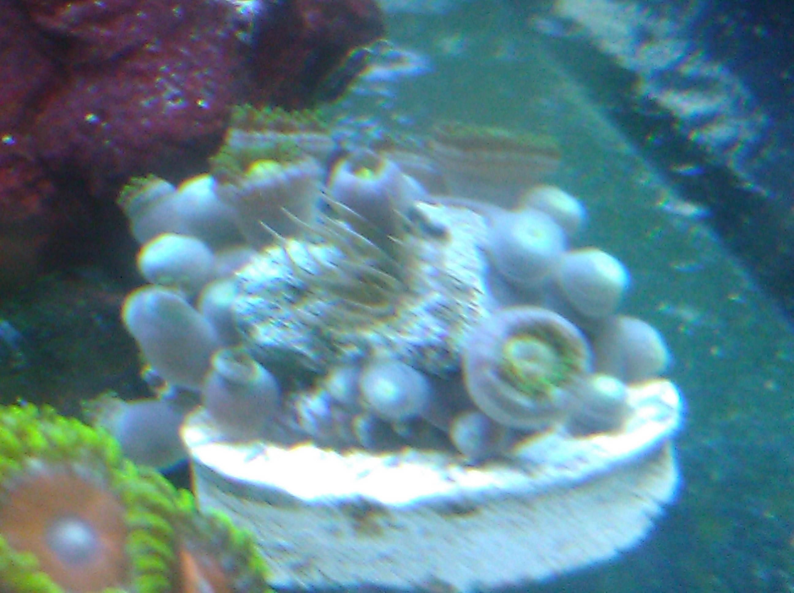 how to kill aiptasia hiding in small hole in frag algae disease