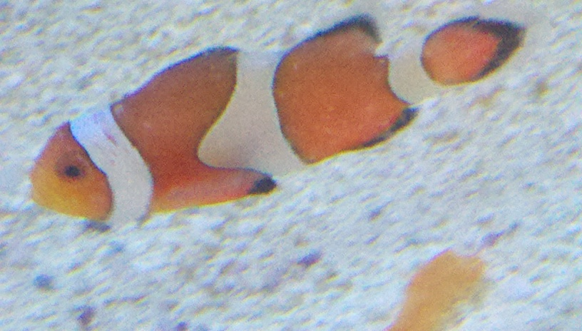 my two ocellaris clownfish have white spots disease pest