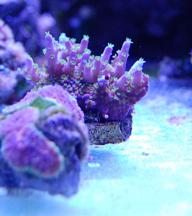 Garf Purple Bonsai Care Coral Forum Nano Reef Community