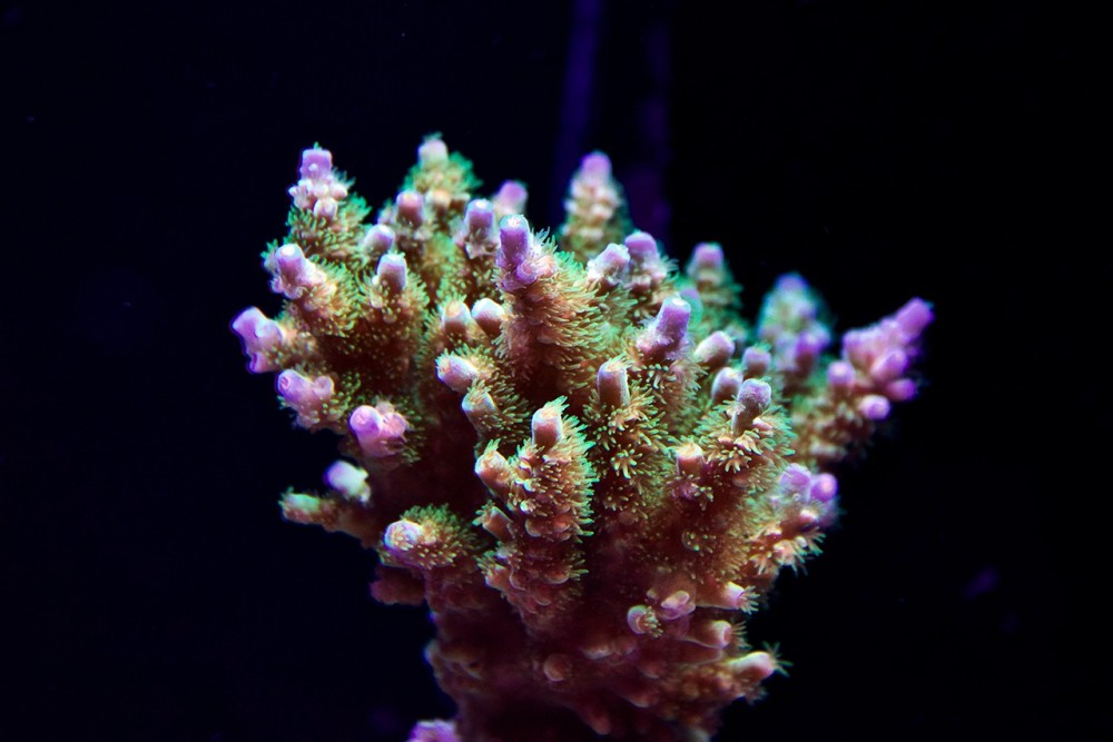 Acropora-Colony.jpg