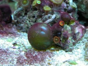 Reef Tank Pests Livestock Articles Nano Reef Community