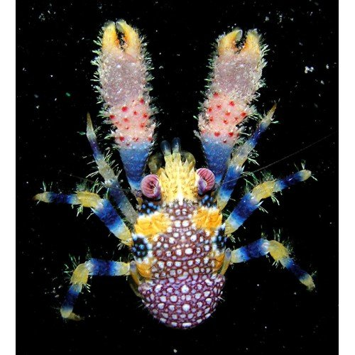 BUMBLE BEE SQUAT LOBSTER (Galathea pilosa)-500x500.jpeg