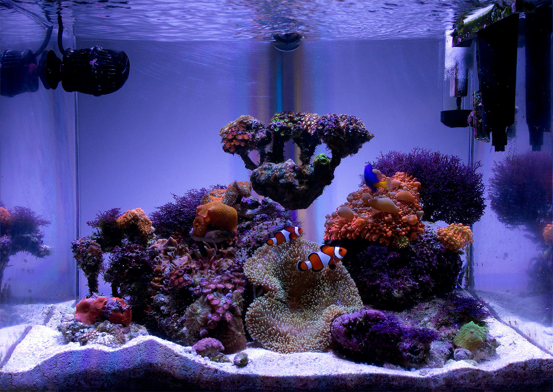 Xellos88's 12 gallon bow-front LPS & soft coral nano reef ...