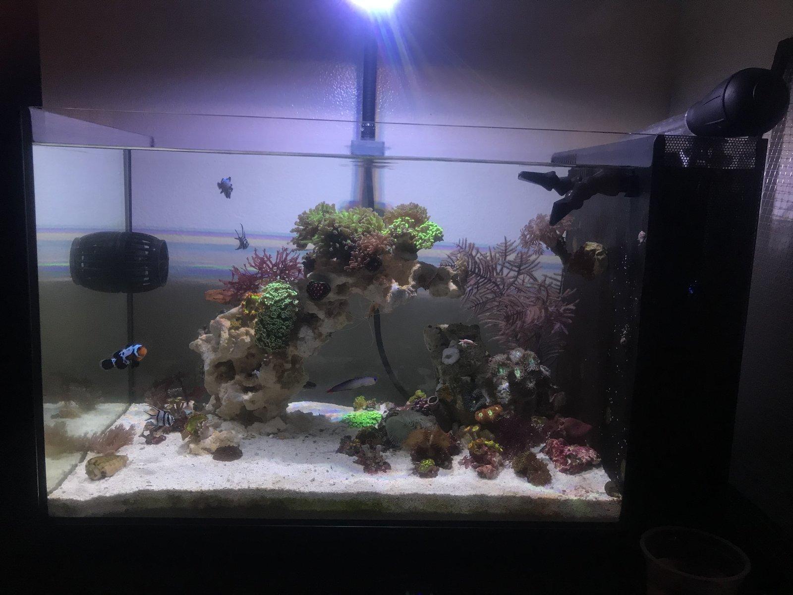 Rock Flower Anemones Dying Help Invertebrate Forum Nano Reef Community