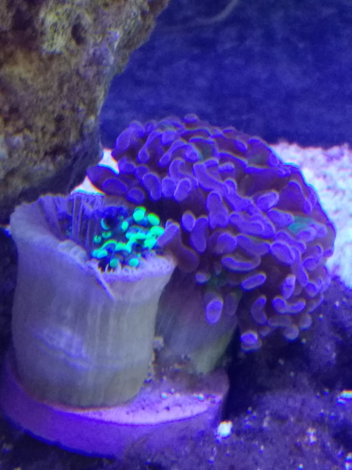 hammer coral shrivelling up for no reason coral forum nano reef