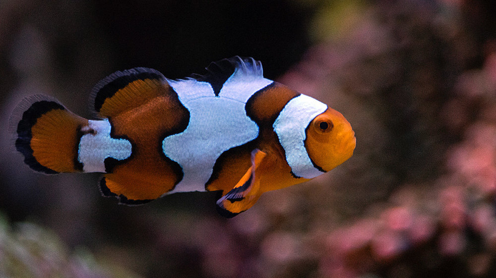 Picasso_Clownfish.jpg