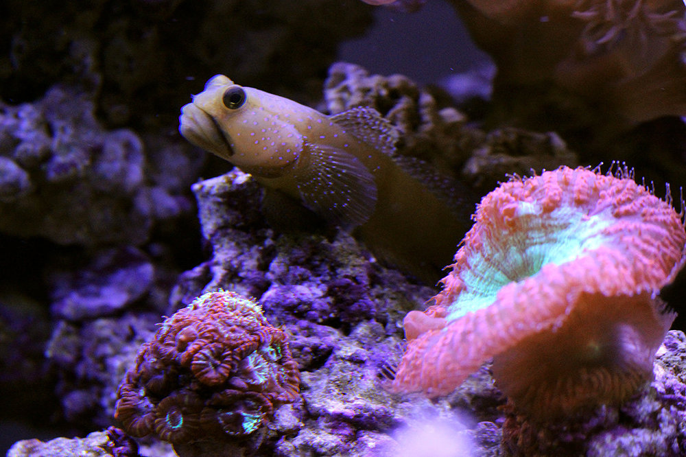 Yellow-watchman-goby.jpg