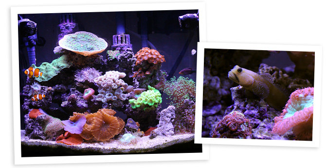 Butchy21's 26 Gallon Nano Reef