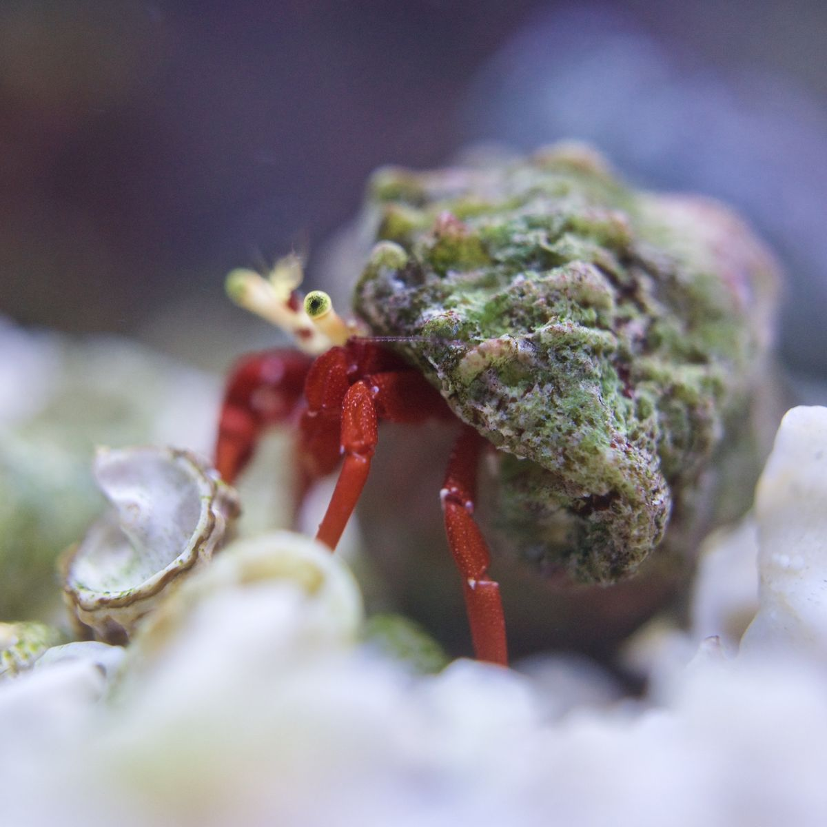 Horatio, The Scarlet Legged Reef Crab