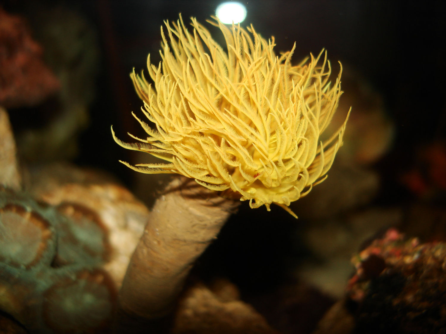 Yellow feather duster coco worm