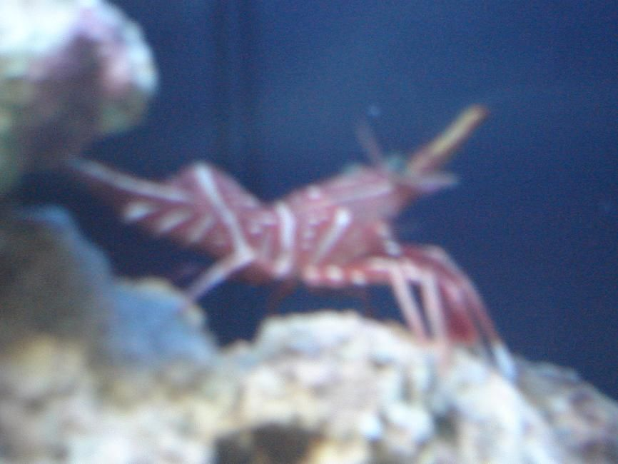 1 OF MY LITTLE SHRIMPS. THE OTHER 2 ARE THE SAME.