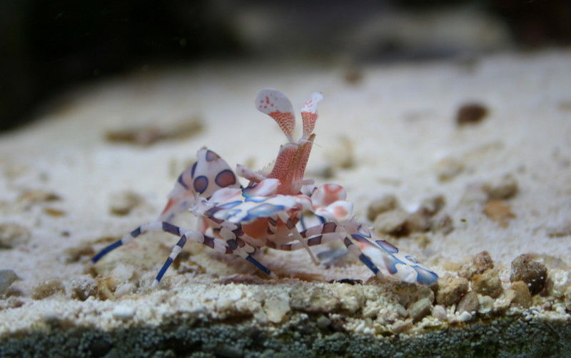 Harlequin Shrimp out and about