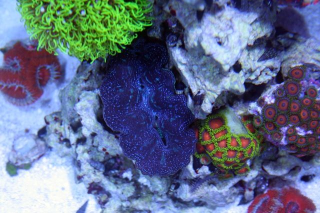 GSP, clam and zoa