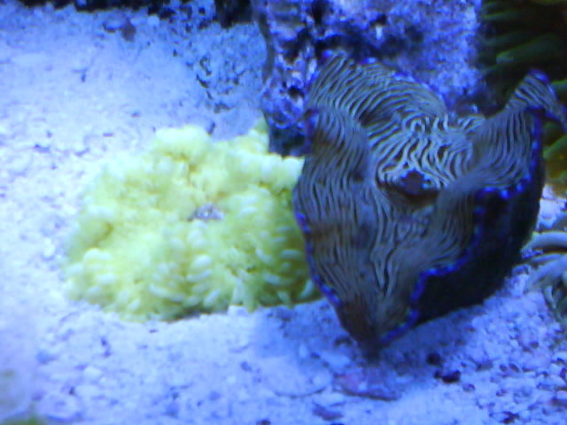 Yellow Rock Anemone and Derasa Clam