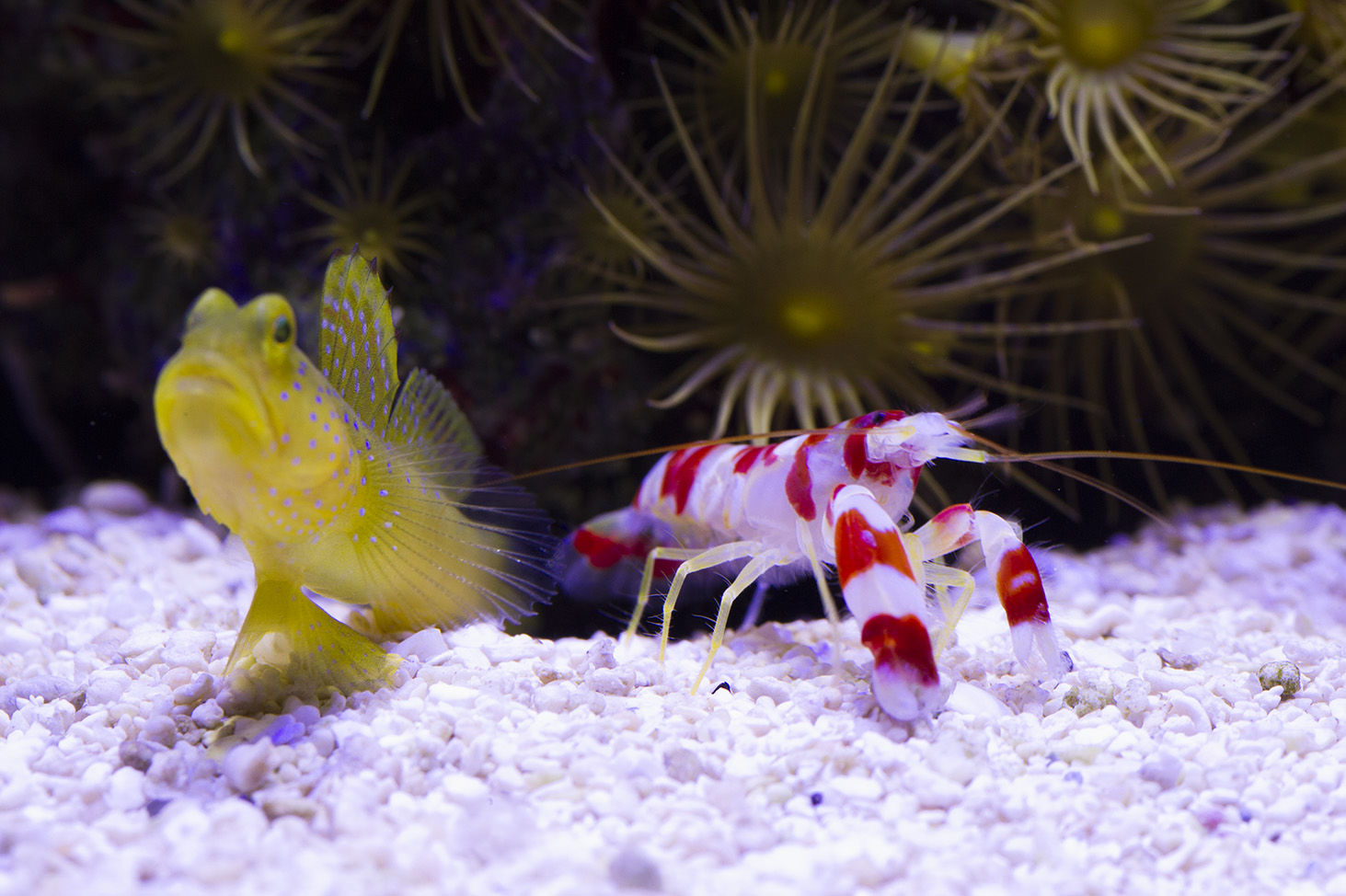 Goby and Pistol Pair