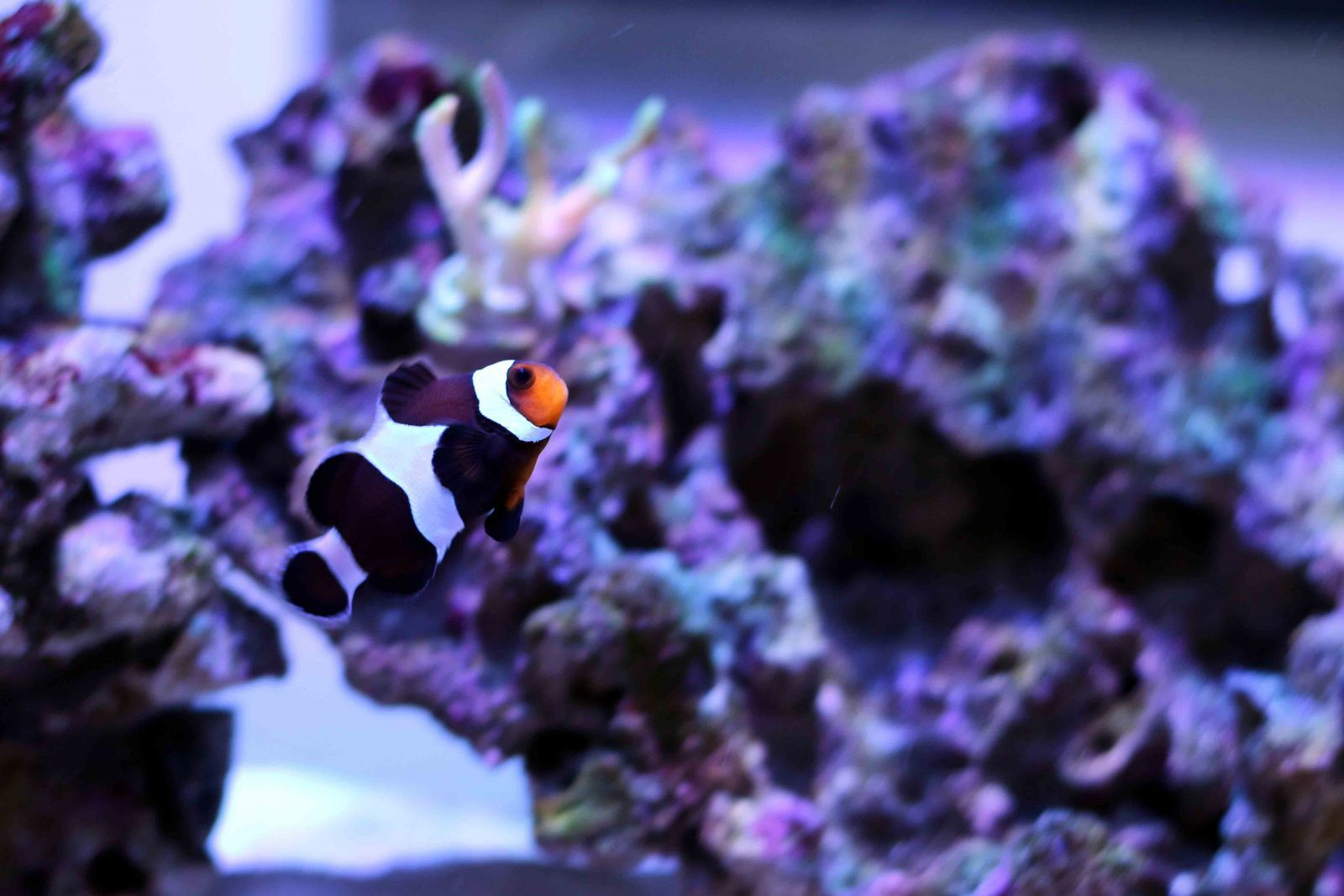 black ocellaris clownfish tank shots nano reef com community