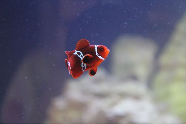 Penny the Lightning Marin Clownfish