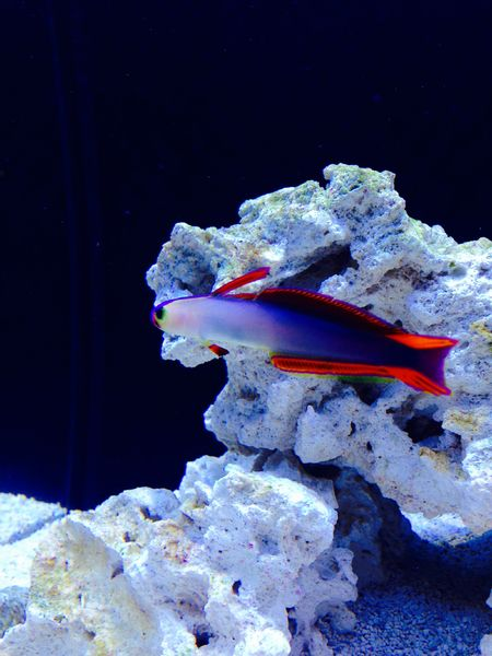 my new Elegant firefish