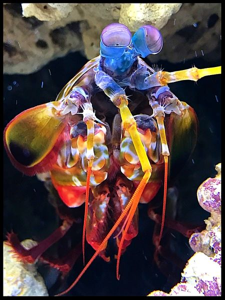 Roxy the Mantis Shrimp