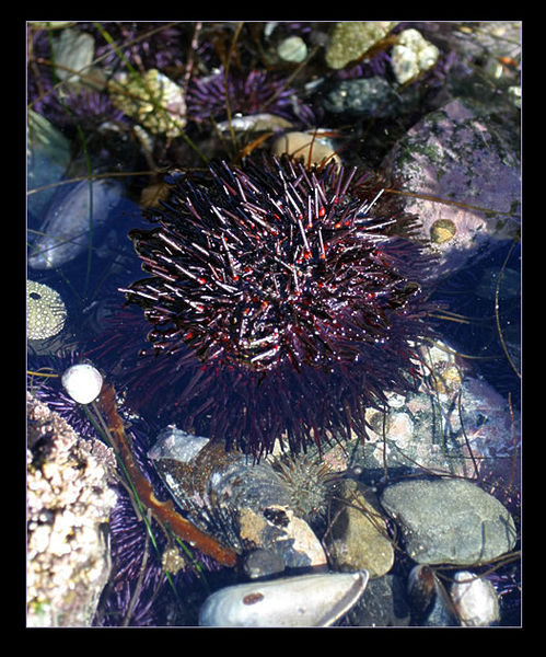 Really Large Urchin